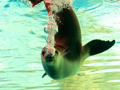 ALONISSOS: MOM Mediterranean Monk Seal