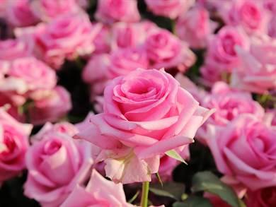 Cipro: Le Rose di Cipro